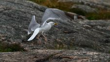 Free Seagull Royalty Free Stock Photography - 3187467