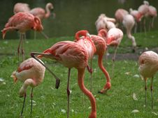 Free Flamingo Royalty Free Stock Photo - 3187735