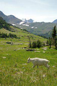 Free Mountain Goats C Stock Photography - 3187772