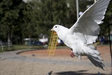Free White Dove Landing Stock Photography - 3188282