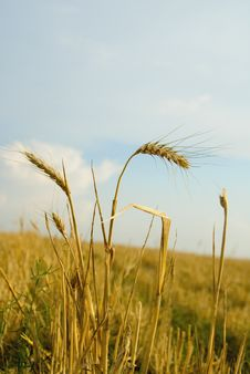 Free Golden Field Royalty Free Stock Photo - 3188775