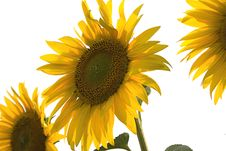 Free Sunny Flower Stock Image - 3188831
