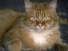 Free Ginger Cat Looking Stock Photos - 3188973
