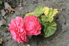 Free Begonias 2 Stock Image - 3189031
