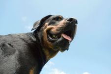 Free Rottweiler Royalty Free Stock Photography - 3189937