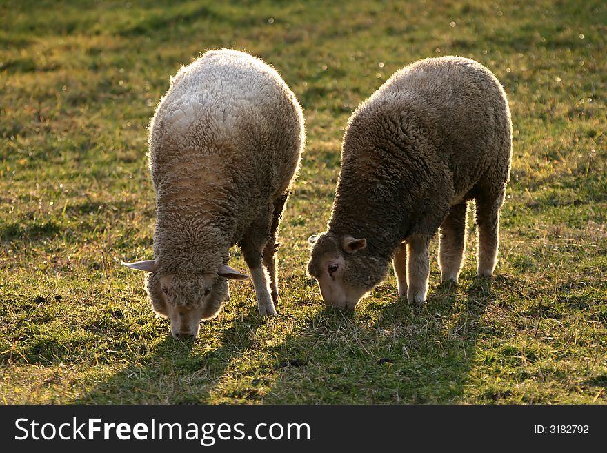 Twins - sheep