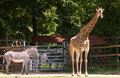 Free Portrait Of A Young Zebra And Giraffe Stock Photo - 31803820
