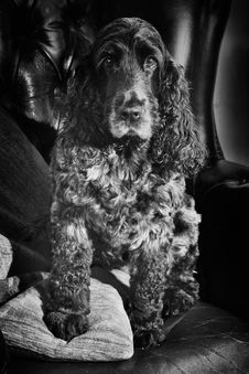 Free English Cocker Spaniel Blue Roan In Black And White Royalty Free Stock Photo - 31801375