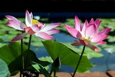 Free Lotus Flower Stock Photography - 31804772