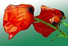 Free Red Poppy Buds Royalty Free Stock Photo - 31805965