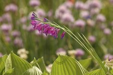 Free Wild Gladiolus Flower Royalty Free Stock Photo - 31806025