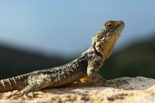 Free Lizard Stock Photography - 31807992