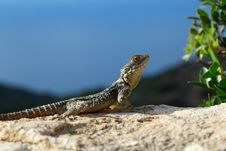 Free Lizard Stock Photos - 31808043