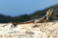 Free Lizard Royalty Free Stock Photos - 31808138