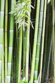 Free Bamboo Tree Wood Background Royalty Free Stock Images - 31808479