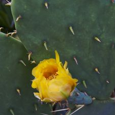 Free Beautiful Yellow Flowers Of Blooming Cactus Royalty Free Stock Images - 31808499