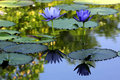 Free Beautiful Lotus Flower Royalty Free Stock Images - 31810499