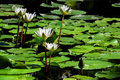 Free Beautiful Lotus Flower Stock Image - 31810821