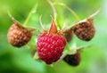Free Raspberry Berries Stock Photography - 31818602