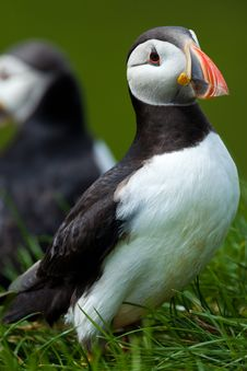 Free Atlantic Puffin In Grass, Iceland Stock Photography - 31810122