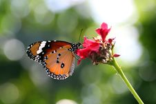 Free Butterfly Royalty Free Stock Image - 31810646