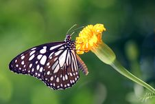 Free Butterfly Royalty Free Stock Photos - 31811228