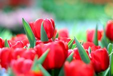 Free Tulips Stock Images - 31812344