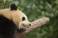 Free Giant Panda Bear Sleeping On A Branch, Close-up Royalty Free Stock Photo - 31816015