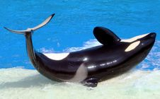 Free Killer Whale Royalty Free Stock Images - 31817189