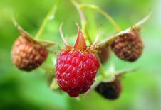 Free Raspberry Berries Stock Photography - 31818602