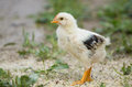 Free Baby Chicks Stock Photography - 31820842