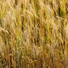 Free Golden Wheat Royalty Free Stock Photography - 31821447