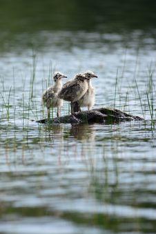 Free Baby Seagulls Stock Image - 31825161
