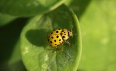 Yellow Beetle With Black Dots Sitting On The Green Leaf Macro Photo Royalty Free Stock Photography