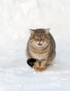 Free Brown Cat On The White Snow Stock Images - 31848654