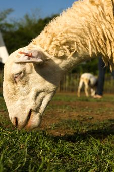Free Sheep  In The Farm Stock Image - 31842721