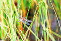 Free Dragonfly Stock Images - 31852164