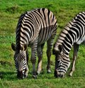 Free Zebras Stock Photos - 31857103