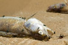 Free Dead Fish Stock Photography - 31850132