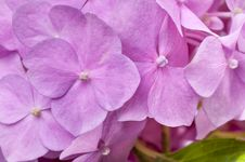 Free Pink Hydrangea With Leaves As Background Stock Photography - 31851052