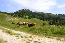 Free Herd Of Cows On Mountain Pasture Stock Image - 31851371