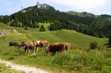 Free Herd Of Cows On Mountain Pasture Stock Photos - 31851443