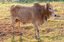Free Cow On The Meadow Stock Images - 31851624
