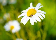 Free Camomile With An Insect On A Green Spring Background Royalty Free Stock Photo - 31854465