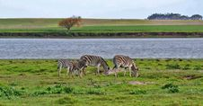 Free Zebras Stock Images - 31857024