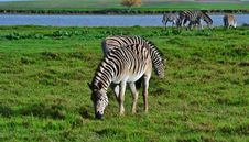 Free Zebras Royalty Free Stock Photo - 31857025