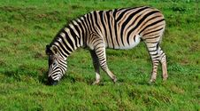 Free Zebras Stock Photo - 31857100