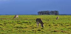 Free Zebras Royalty Free Stock Image - 31857156