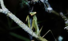 Free Praying Mantis Stock Image - 31857691