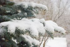 Free Snow On Fir Branches Stock Photos - 31857843